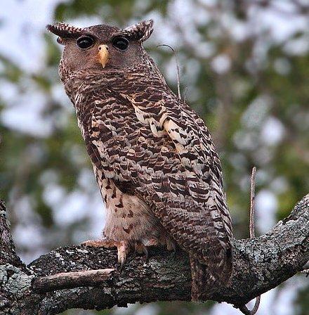 Owls World Of Owls